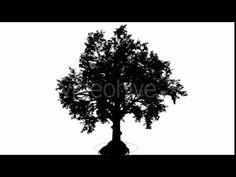 Broadleaf Deciduous Tree Silhouette of Animated Tree is Swaying at the W... #листва #ветер #дерево