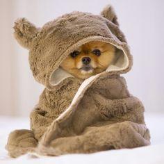 Pomeranian puppy in a costume!!!