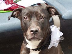 TREASUR - ID#A1001943  I am an unaltered female, brown and white Pit Bull Terrier mix.  The shelter staff think I am about 4 years old.  I weigh 49 pounds.