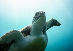 42 countries have no laws against killing endangered sea turtles (40,000+ are 'legally' killed each year)