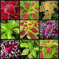 Coleus, one of the best and most beautiful plants for indoors, requires less water, little light and low maintenance but warmer areas. The colorful leaves of the plant can arouse jealousy among many flowery plants:) Its known as yaprak gzeli in Turkey. Shade Garden, Garden Plants, Planter Garden, Tree Garden, Planter Boxes, Beautiful Gardens, Beautiful Flowers, Coleus, Shade Plants