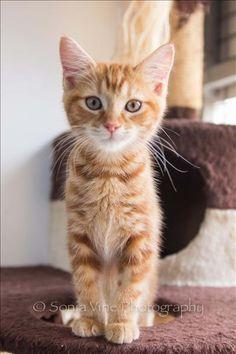 Cute little ginger kitten