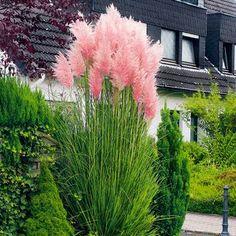 Rosa Pampasgras Beautiful Gardens, Beautiful Flowers, Grass Seed, Ornamental Grasses, Tall Grasses, Dream Garden, Garden Inspiration, Backyard Landscaping, Garden Plants