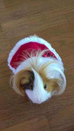 Long haired guinea pig! PLEASE!  I used to have short haired ones, but if i ever got long haired ones I would name them Pippin and Percy after Zoellas and because I mean c'mon, damn cute names!