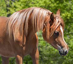 Marilyn TF (Thee Desperado x Juno RCA) 2011 chestnut SE mare bred by Thornewood Farm