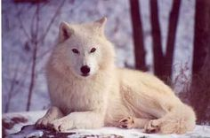 Wolves Of The World - Hudson Bay Wolf - Canis lupus hudsonicus Wolf Pictures, Animal Pictures, Werewolf Name, Female Werewolves, Wolf Pup, Wolf Love, Beautiful Wolves, White Wolf, Gray Wolf