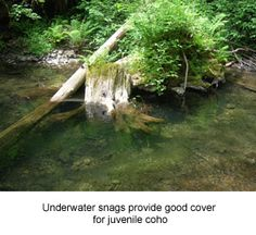 Photo of tree stump in stream, and CDFW STRATEGY.  Underwater snags provide good cover for juvenile coho