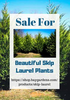 Skip Laurel plant is the one of the most beautiful and useful plant for planting in the garden. It has ability to bring beauty in the garden and maintain privacy. If you have garden that is unprivileged from beauty and privacy then skip laurel plants are the best one for full-fill your garden requirements.