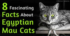 Egyptian Mau Cats are so lively and playful, are a good choice for families with children, and also do well with friendly dogs. http://healthypets.mercola.com/sites/healthypets/archive/2015/12/04/egyptian-mau-cat.aspx