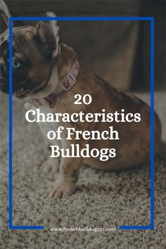 French bulldogs, you can't fight the fact that you simply adore the Frenchie's petite, bat-like figure, and the cutest years there can be. Let's explore common characteristics of French Bulldogs French Bulldog Facts, French Bulldog Puppies, French Bulldogs, Kinds Of Dogs, Teeth Care, Family Dogs, Go Outside, Dog Friends