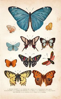 1920 Butterflies Antique Print Entomology by carambas on Etsy, $16.00