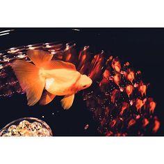 【tomonista】さんのInstagramをピンしています。 《己の姿も分からなくなるくらいに  この世は複雑で乱雑なように見えるけど  実は  見たいものしか見えない  という  シンプルな事に気づくか否か  #金魚 #アクアリウム #水槽 #反射 #光 #影 #魚 #アクアリウム展  #カメラ #単焦点 #根暗にしか撮れない写真を》