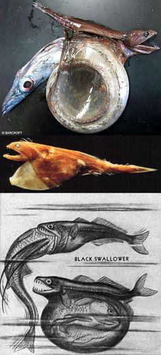 Este pez es conocido como el negro Swallower, un pez que se come la presa hasta 10 veces su peso y dos veces su longitud.