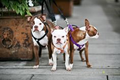 conner, maggie + murphy the boston terriers (via the daily sniff)