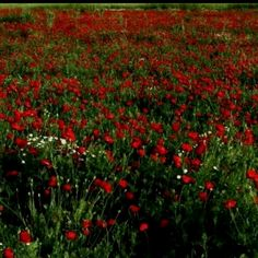 Flowers from Songs and Pictures from Palestine
