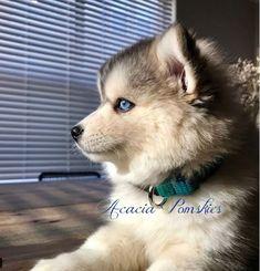 Pomsky Puppies, Pomeranian, Nanny Services, German Spitz, Types Of Coats, American Eskimo Dog, Northern California, Husky, Dogs