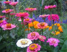 If you want to grow your zinnias as cut flowers, snip off the centre flowers when plants are about 40cm high (do this on regular zinnias, not bedding, or dwarf, zinnias). This encourages the plants to branch low and produce taller stems.
