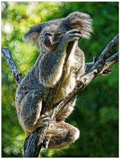 One of the cutest residents on Hamilton Island. Anyone visiting Hamilton Island should definitely swing by Wild Life Hamilton Island to meet the cuddly koalas! Why not have breakfast with them as well? #Hamilton Island #Whitsundays #Australia (Photo by Julie Cowdy)