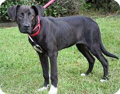 New Orleans, LA - Great Dane/Retriever (Unknown Type) Mix. Meet Alexia, a puppy for adoption. http://www.adoptapet.com/pet/11592549-new-orleans-louisiana-great-dane-mix