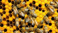 Bee health update: Latest field studies conclude neonicotinoids not key problem
