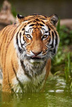 Siberian Tiger | by generalstussner