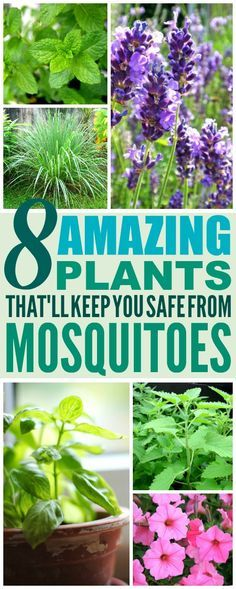 8 Amazing Plants That'll Repel Mosquitoes (And Other Pests!) 8 Amazing Plants That'll Repel Mosquitoes (And Other Pests!),Gardening Problems & Solutions These 8 Amazing Mosquito Repelling Plants are THE BEST! I'm so glad I. Anti Mosquito Plants, Natural Mosquito Repellant, Mosquito Repelling Plants, Mosquito Trap, Mosquito Control, Backyard Plants, Outdoor Plants, Garden Plants, Plants Indoor