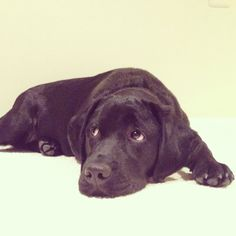 Bailey!  Black lab puppy!