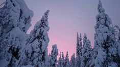 Trees covered in snow at sunset, Lapland, Finland | The Virtual Traveller | How to travel the world without leaving home | #virtualworldtrip
