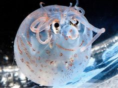 Piglet squids are approximately the size of a small avocado and they are found at depths of more than 100 meters under sea level.