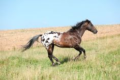 "Appaloosa patterns e.g. leopard (a white body covered in darker spots), the ever-changing roan or snowflake blanket (Appaloosa roans are different than traditional roans, which do not change), few spots (like the name sounds, these horses are blanketed but have ""few spots"")."