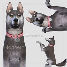 Northern Inuit Winter is here! EA didn't add this gorgeous dog to the game, so I made one! Fun fact: Northern Inuits played the Direwolves in Game of Thrones: Ghost, Nymeria, Grey Wind, Summer,...