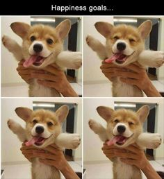 45 Dog Memes That Are Guaranteed To Put You In A Good Mood is part of Cute corgi - Honestly, dogs are just angels on Earth Funny Dog Memes, Funny Animal Memes, Cute Funny Animals, Funny Animal Pictures, Cute Baby Animals, Funny Cute, Funny Dogs, Animals And Pets, Corgi Pictures