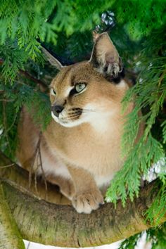 "Bob Cats tulipnight: ""Caracal in a tree by Sarah Brigden "" - Unique Animals, Nature Animals, Animals And Pets, Cute Animals, Big Cats, Cute Cats, Funny Cats, Pumas, Lynx"