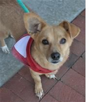 Anke is an adoptable Corgi Dog in Fairfax Station, VA. For more information, please see our website listing for Anke or contact kimberlyhbradley@aol.com .To read about our adoption procedures and acce...