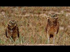 Burrowing Owl | American Bird Conservancy; Burrowing Owls live underground, usually in a burrow taken over from a prairie dog, ground squirrel, or tortoise. They sometimes use rock cavities and human-made spaces. The owls may even dig burrows themselves in areas of soft or sandy soil.