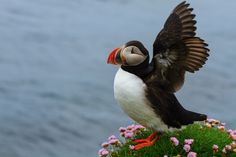 The Atlantic puffin spends the autumn and winter in the open ocean of the cold northern seas and returns to coastal areas at the start of the breeding season in late spring. — at Latrabjarg (Westfjords).