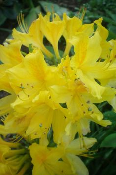 Azaela Gialla www.anconaflowershow.com