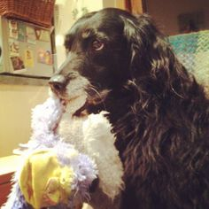 our old Spangold , Lilly and her favourite toys x