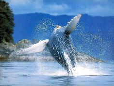 Humpback whale, Atacames Ecuador (Provincia Esmeraldas)