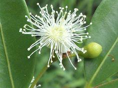 flor de arrayan