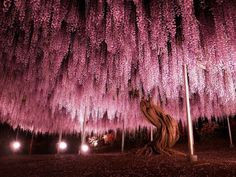 144-Year-Old Japanese Pink Wisteria Tree  Covering an area of over 2,000 square meters, this tree has been part of the Ashikaga Flower Park in Japan since 1870. Because of the nature of Wisteria trees spreading, it's heavy branches are now supported by metal structures allowing tourists to get amazing photo opportunity below its canopy.