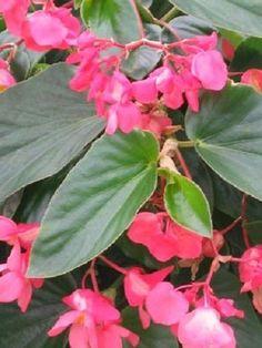 50 Begonia Seeds Dragon Wing Begonia Pink Pelleted Seeds BULK SEEDS #begonia
