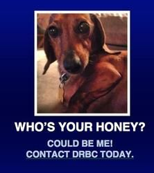 Miles is an adoptable Dachshund Dog in Morrisville, PA. Who's your honey...well, I could be your honey. I am Miles and I am all about the love with almost everything. I like going on walks, my dinner...