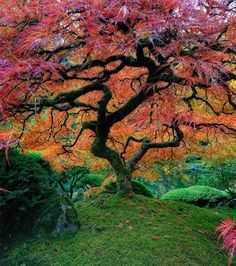 This Japanese maple installed in Portland, Oregon offers a real show of colours. Cet érable japonais installé à Portland dans l'Oregon offre un vrai spectacle de couleurs