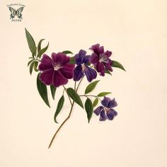 Bristlecup Glory bush. Tibouchina elegans as Pleroma elegans. Norton, E.H., Brazilian flowers, drawn from nature in the years 1880-1882 in the neighbourhood of Rio de Janeiro, t. 39 (1893) | by Swallowtail Garden Seeds