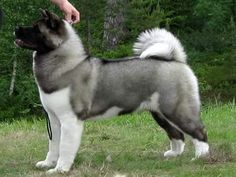 """Click visit site and Check out Hot """"Akita Dog"""" T-Shirts & Hoodies. This website is superb. Tip: You can type """"your last name"""" or """"your favorite shirts"""" by using search bar on the header. #akita"""