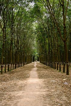 35 Best Rubber Trees images in 2012 | Rubber tree, Tree
