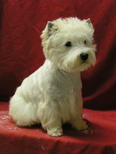 Perfect  Westhighland Terrier