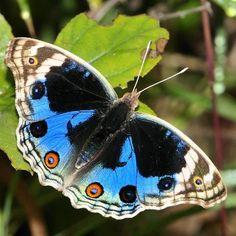 Blue Pansy Butterfly - Knowledge Base LookSeek.com