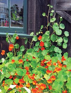 Tall Mixed Single Nasturtium: Edible flowers and foliage in a glorious mix of yellows, oranges, reds and bicolors. Easy to grow, beautiful at the corners of vegetable beds, in containers or window boxes. They appreciate a little shade in hot summer areas (ex. Taller flowers or vegetables). Many culinary uses - leaves and flowers are popular in salads or as garnish, the buds may be pickled or used just like capers. Try flowers and buds in potato salad.